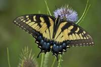 Eastern Tiger Swallowtail, (Papilio glaucus)