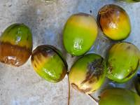 Hatless Acorns