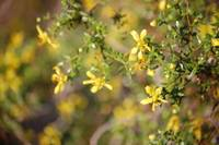 Creosote Bush with Flowers