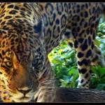 """Jaguar"" by Riggs"