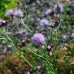 """""""Lavender Flowers"""" by venetiakelley"""