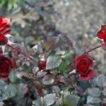 """""""Roses"""" by venetiakelley"""