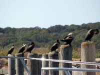 My Ducks (cormorants) lined in a row