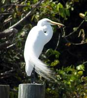 Snowy Great White Egret_PhotoContest-TNC09