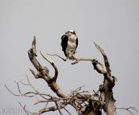 Osprey_PhotoContest-TNC09