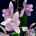 """Orchid Dance"" by Mylene"