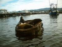 sealion float