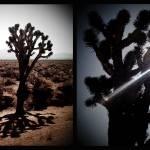 """joshuatrees"" by brandonpaulwatts"