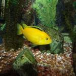 """Electric Yellow Cichlid"" by photosuwant"