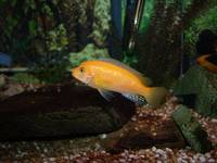 Electric Orange Cichlid