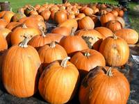 Hundreds of pumpkins