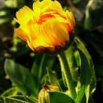"""""""Daisy"""" by dinatemraz"""
