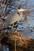 Marshs edge blue heron