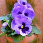 """Pansy Pot"" by jemphoto-art"