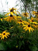 Back Eyed Susan