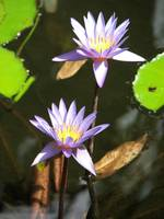 Purple Water Lily's
