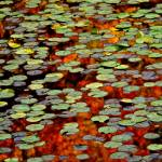 """Autumn Water Lily Patties"" by bavosiphotoart"