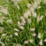 """Ornamental Grass"" by KaprysPhotography"
