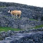 """Cows among Grey Stones"" by Mylene"