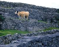 Cows among Grey Stones