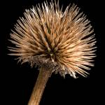 """Dried Purple Cone Flower"" by garystaffordphoto"