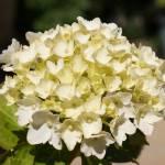 """white flowers"" by georgieboy"