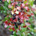 """berry bush 1"" by imagineit"