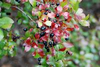 berry bush 1