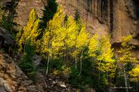 Blazing Aspen in Crazy Woman Canyon