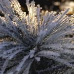 """Winter Pine"" by sharionlambdin"