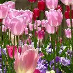 """Tulip Garden"" by choweth"
