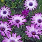 """Daisy Purple Flowers"" by kphotos"