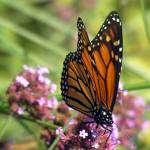 """""""Monarch from Above"""" by janesprints"""