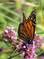 Monarch from Above