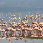 """Lake Nakuru Flamingos"" by gc-photography"