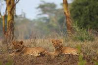 Lion cubs at Lake Nakuru NP