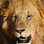 """Masai Mara Lion"" by gc-photography"