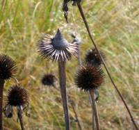 The Cone Flower