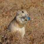 """Prairie Dog"" by pamelask"