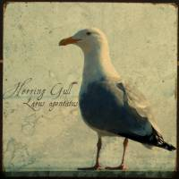 Herring Gull Art Prints & Posters by Heather Hinam