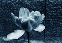 Blue Tinted Tulip 1