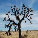 """Majestic Joshua Tree"" by ram"