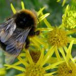 """Bumble Bee On Ragwort"" by rwbthatisme"