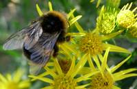 Bumble Bee On Ragwort