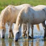 """Horses"" by lebanmax"