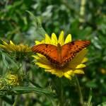 """""""Orange Butterfly on Sunflower"""" by awsheffield"""