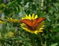 Orange Butterfly on Sunflower