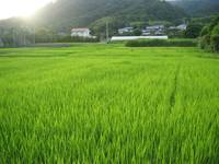 Rice paddy Japan
