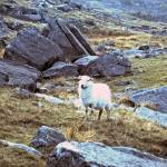"""A sheep in Snowdonia, Wales"" by JCarmen"