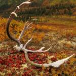 """Caribou antler, on colorful fall tundra, in Denali"" by ShutterSpudz"